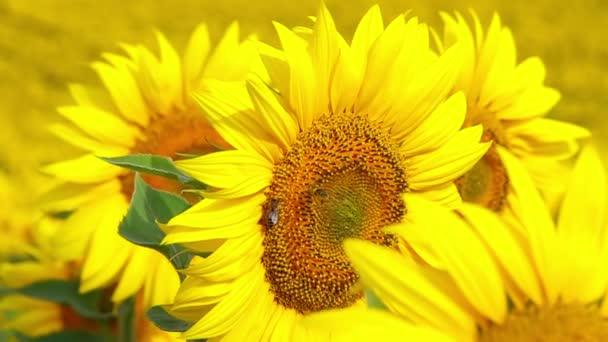 Méh repül, és beporzó napraforgó: süt a nap. Lassú mozgás.