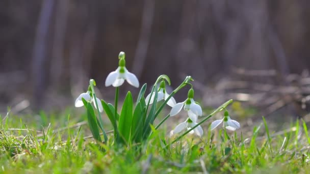 Young Snowdrops with Drops of Dew Sway in the Wind. Close Up.