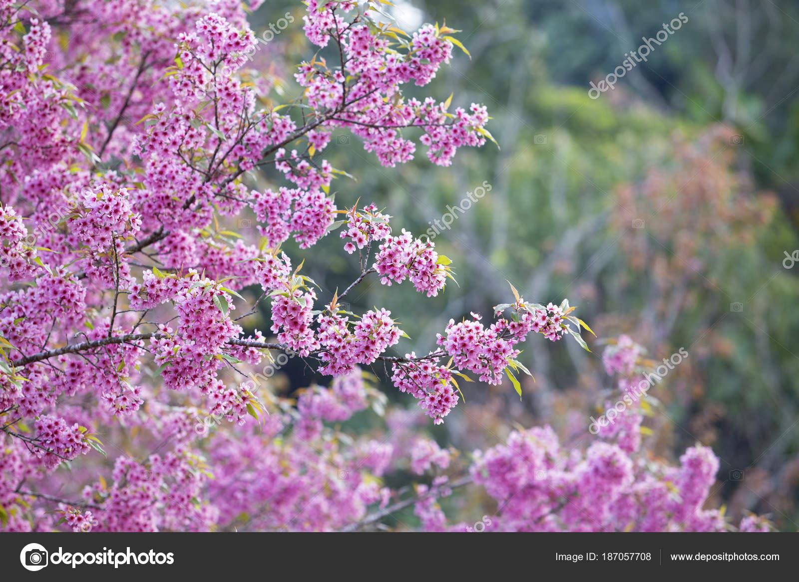 Fleur de cerisier en fleurs de sakura rose sur le parc national phetchaboon — Photographie ...