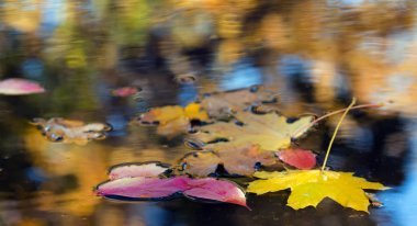 Fallen leaves in puddle