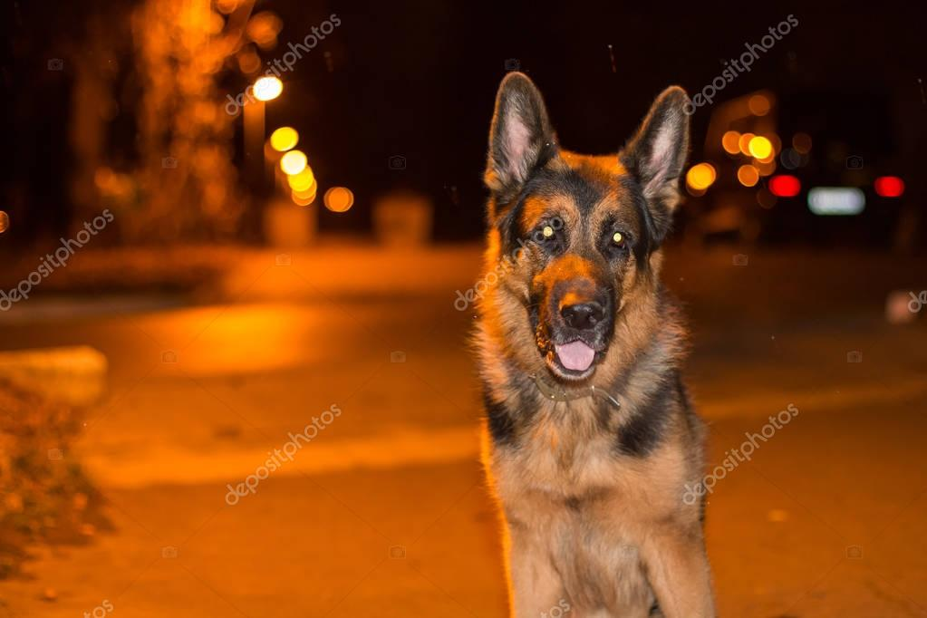 Dog german shepherd on the street in night full of light