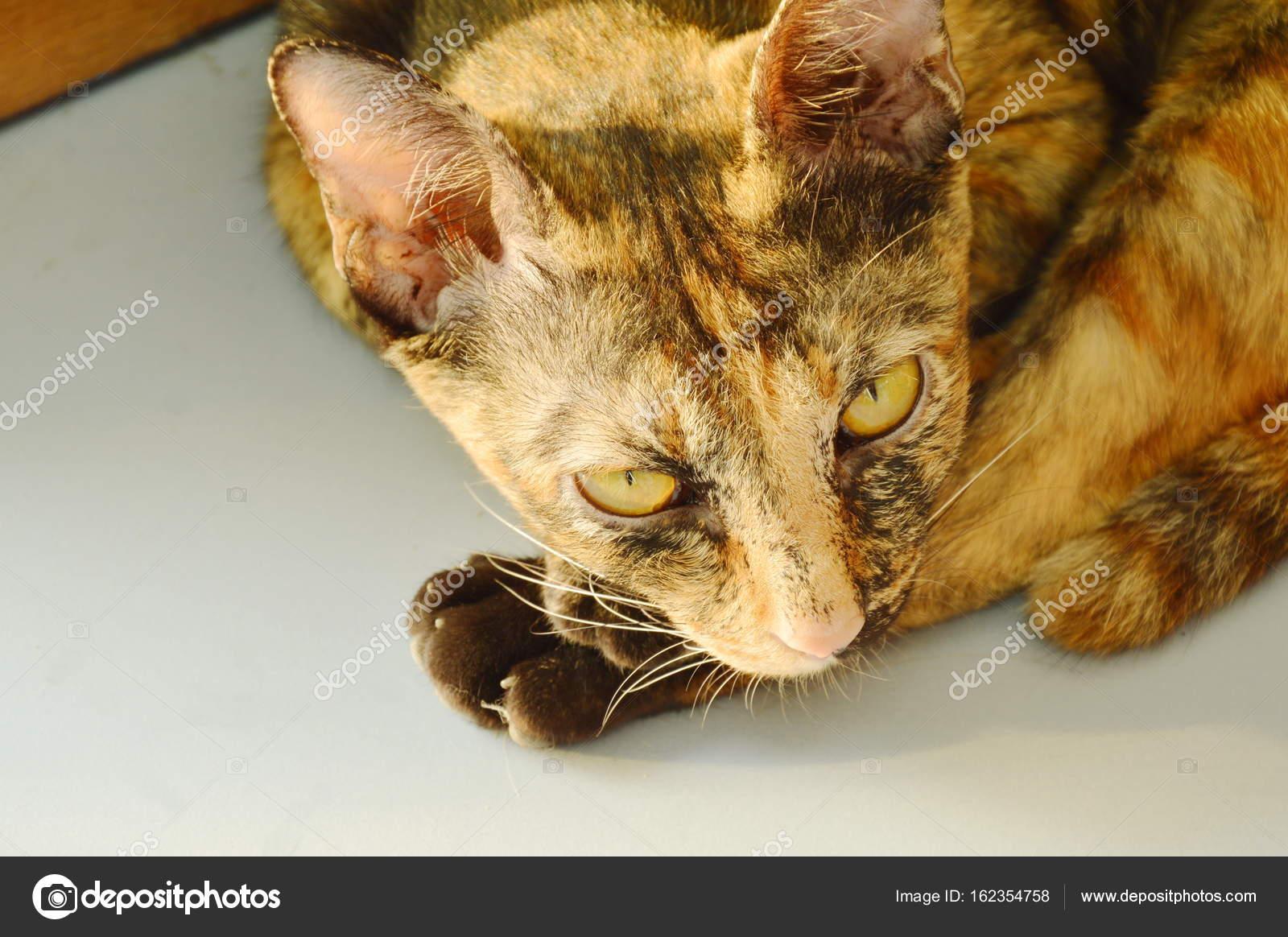 Gatto marrone che pone sul pavimento di piastrelle u foto stock