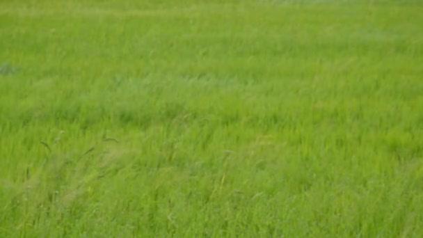 fű virágzás és a hántolatlan mezőben esős szél fúj