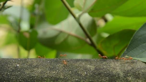 červený mravenec chůzi na zdi cementu a komunikoval s chapadlo v zahradě