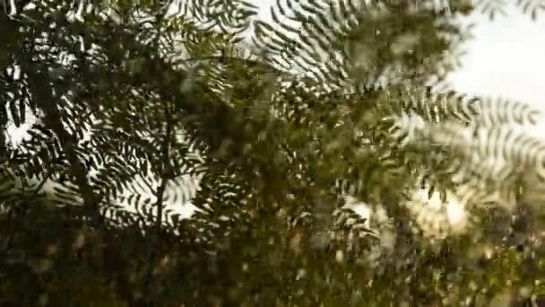 Akát list zalévání strom na farmě v večer