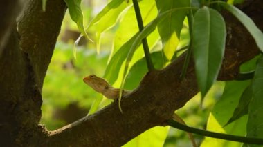 lizard climbing on mango tree in garden