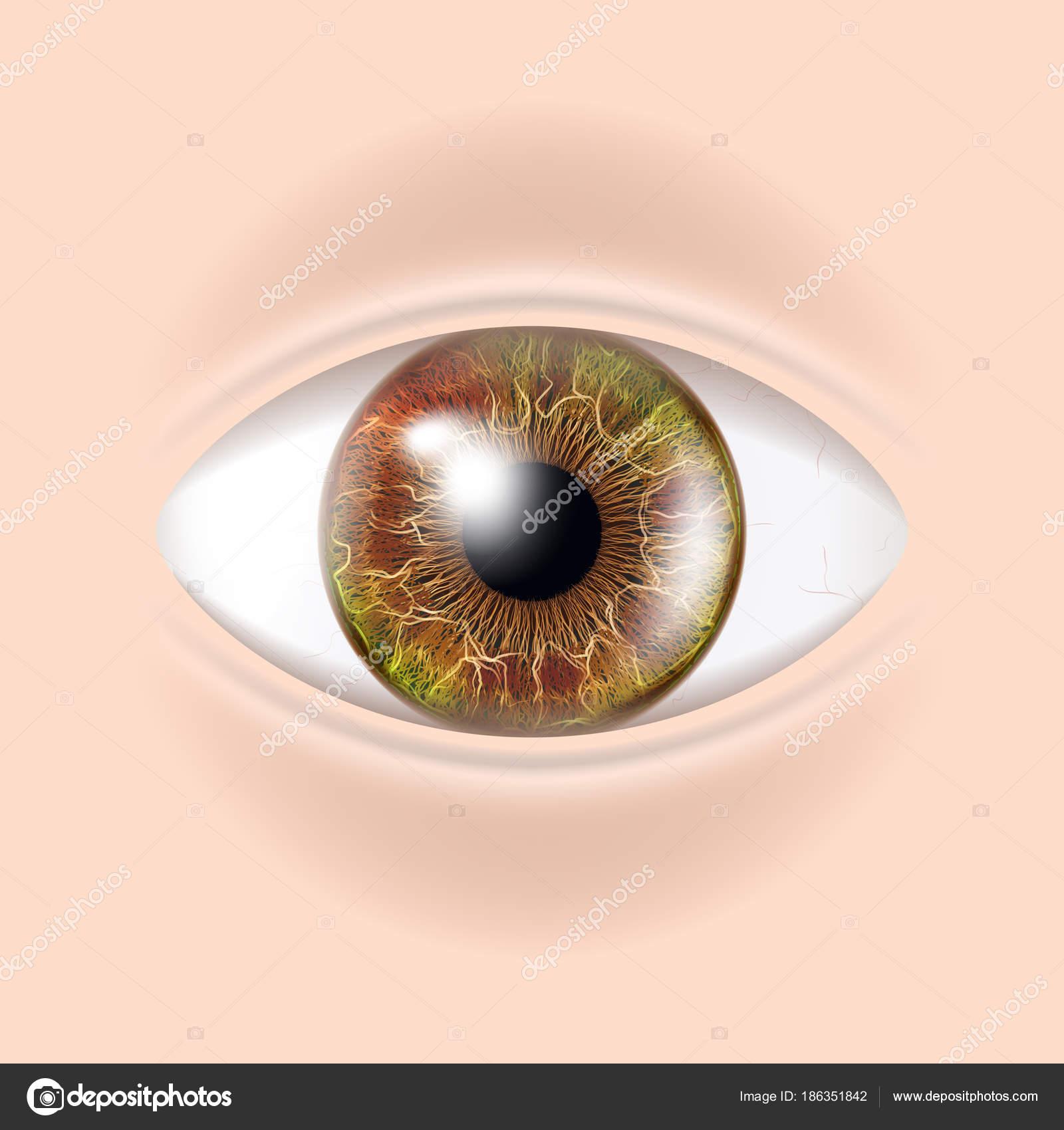 Menschliche Auge Vektor. Visuelle Prüfung. Bodycheck. Realistische ...