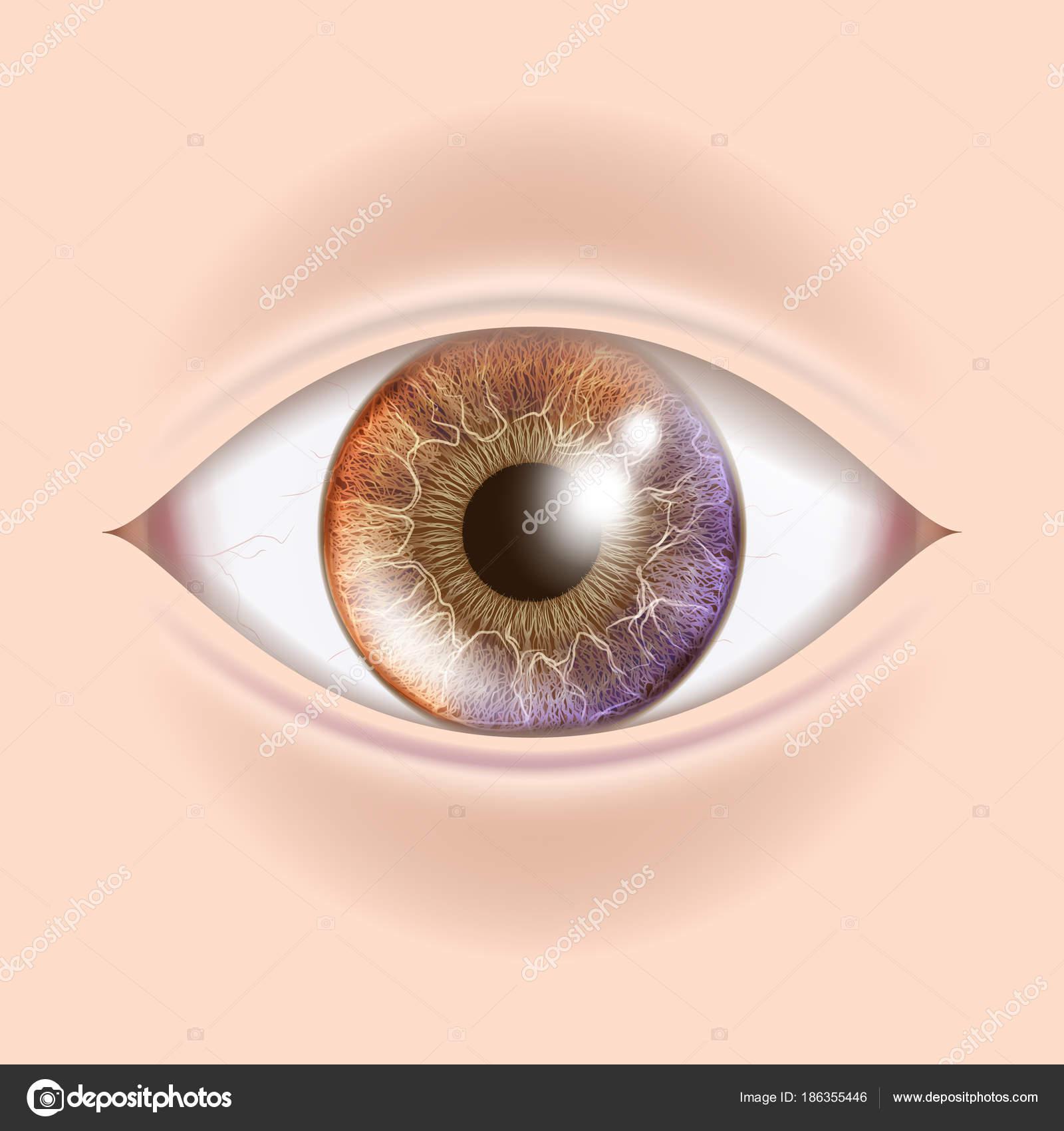 Menschliche Auge Vektor. Augenarzt-Check. Orgel-Test-realistische ...