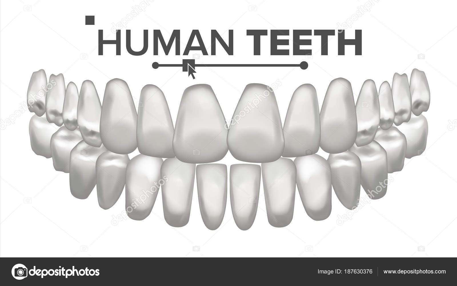 Zahn-Mund-Anatomie-Vektor. Menschliche Zähne. Gesunde weiße Zähne ...