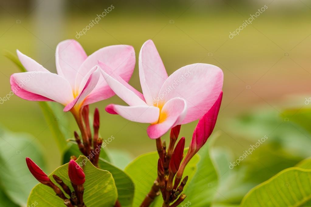 Plumeria flower pink and white frangipani tropical flower plume plumeria flower pink and white frangipani tropical flower plume stock photo mightylinksfo