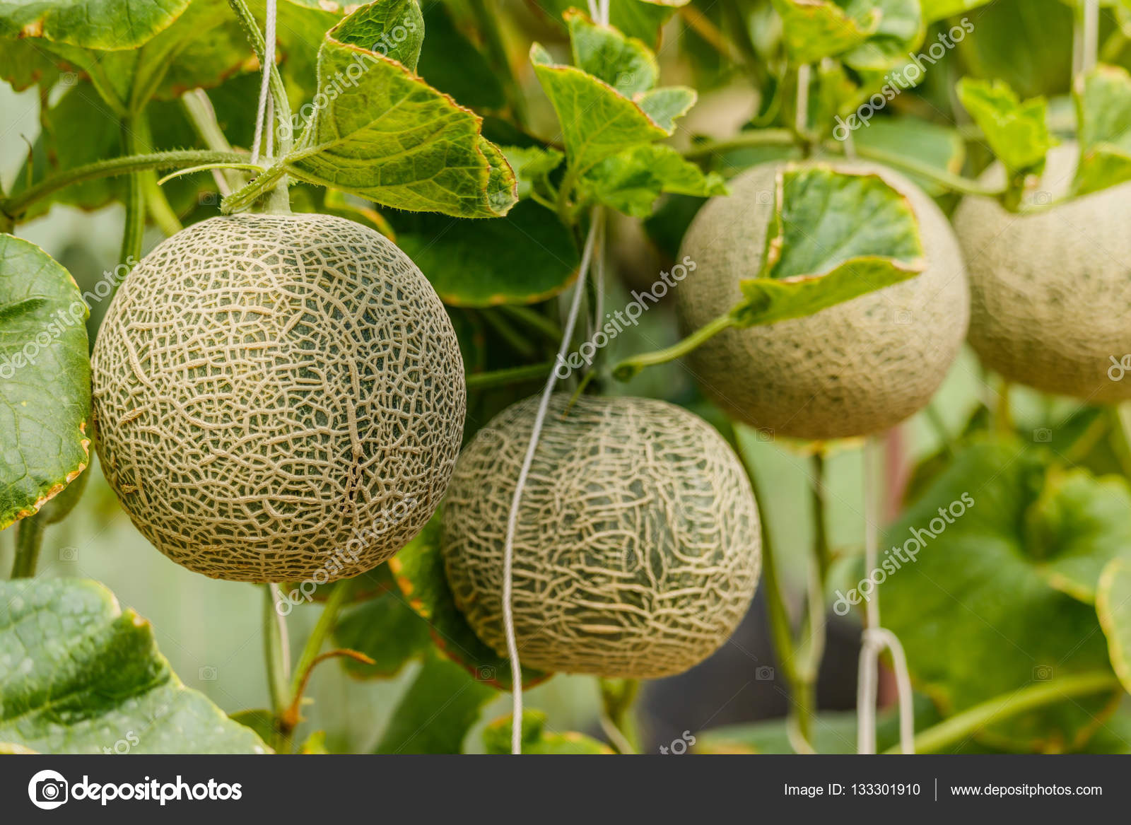 Cantaloupe Fresh Melon On Tree Selective Focus Stock Photo C Sanpom 133301910 Our mission is to help you eat and cook the healthiest way for optimal health. https depositphotos com 133301910 stock photo cantaloupe fresh melon on tree html