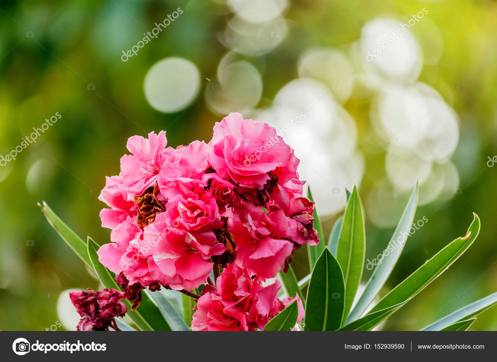 Oleander Shrub Pink Rose Flowers With Leaves Stock Photo Sanpom