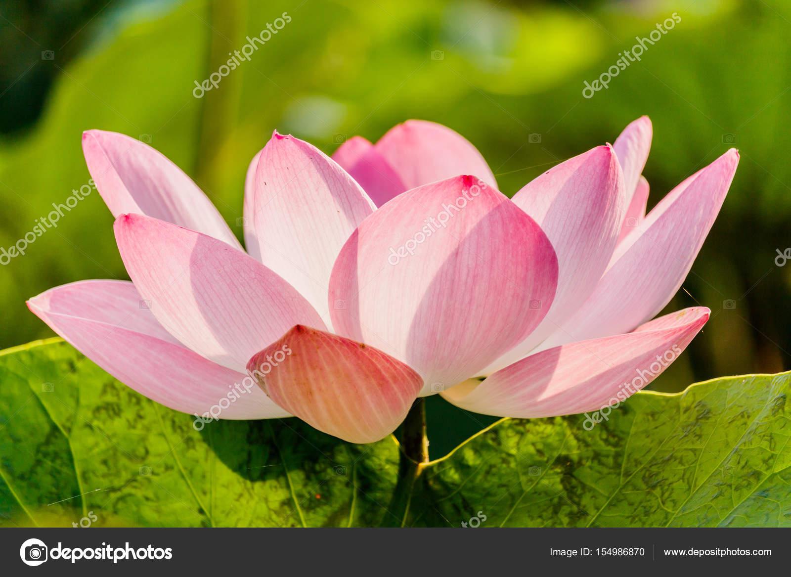 Pink Lotus Flower And Lotus Flower Plants Stock Photo Sanpom