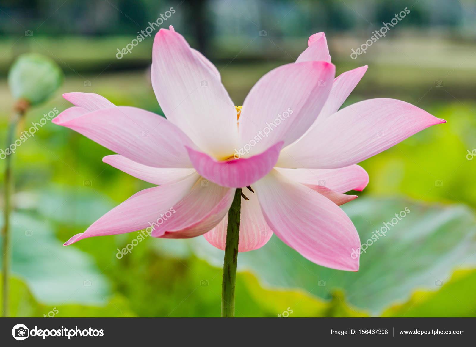 Beautiful pink waterlily or lotus flower in pond stock photo beautiful pink waterlily or lotus flower in pond photo by sanpom mightylinksfo