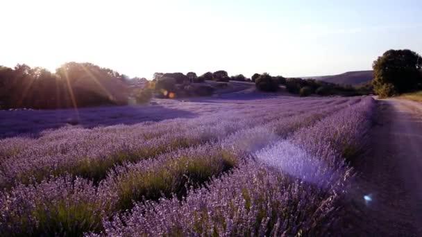 levandulové pole při západu slunce