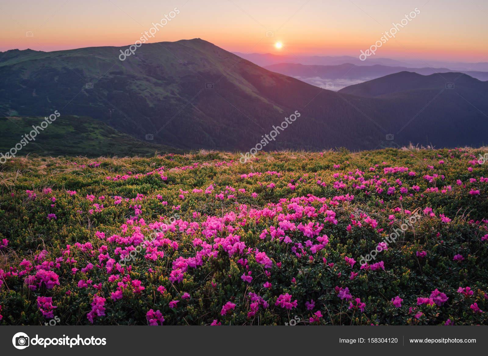 Magnifique Paysage De Montagne Avec Fleur Rhododendron