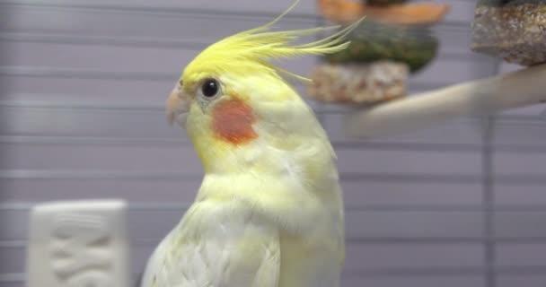 Malý žlutý papoušek Corella v kleci v zoo