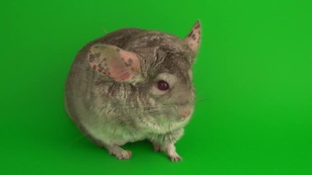 graue Chinchilla auf grünem Hintergrund.