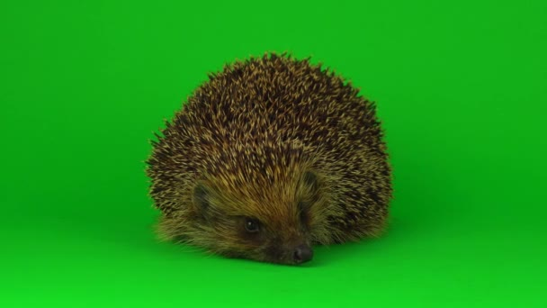 hedgehog isolated on green background 4K scratchy screen