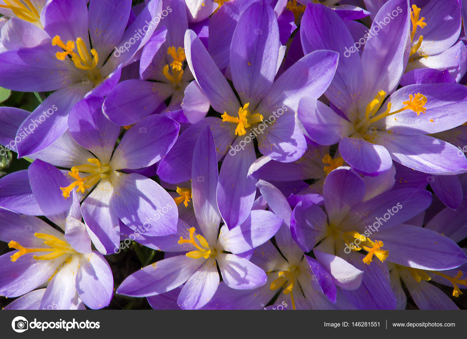 Small Spring Flowers Blooming Crocuses Gently Stock Photo