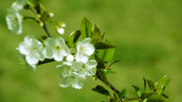 Egy ág, körte és cseresznye virágok