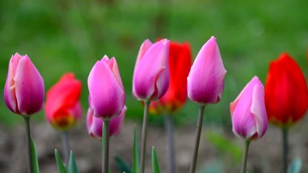 Jemné měkké tulipány rozkvetou