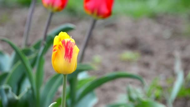 Finom puha tulipán virág