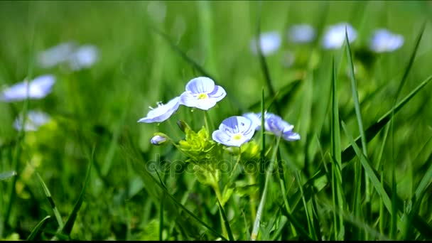 Rozrazil jarní květiny kvetoucí venku v přírodě