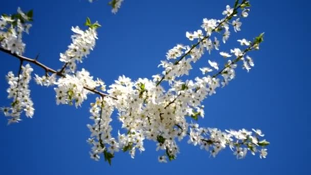 White spring flower branches outdoors