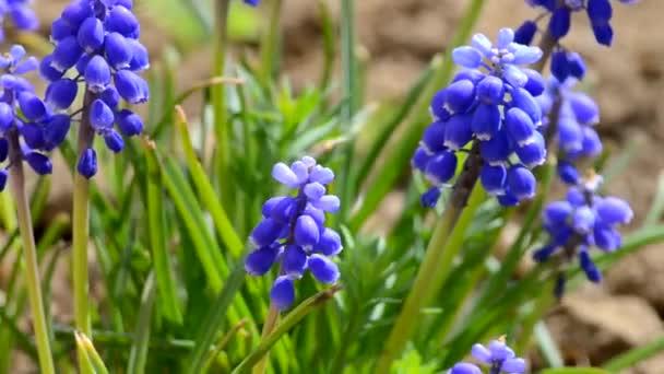 malé modré květy kvetou v jarní muskari