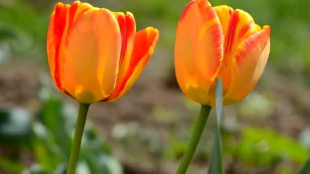 Jemné měkké tulipány