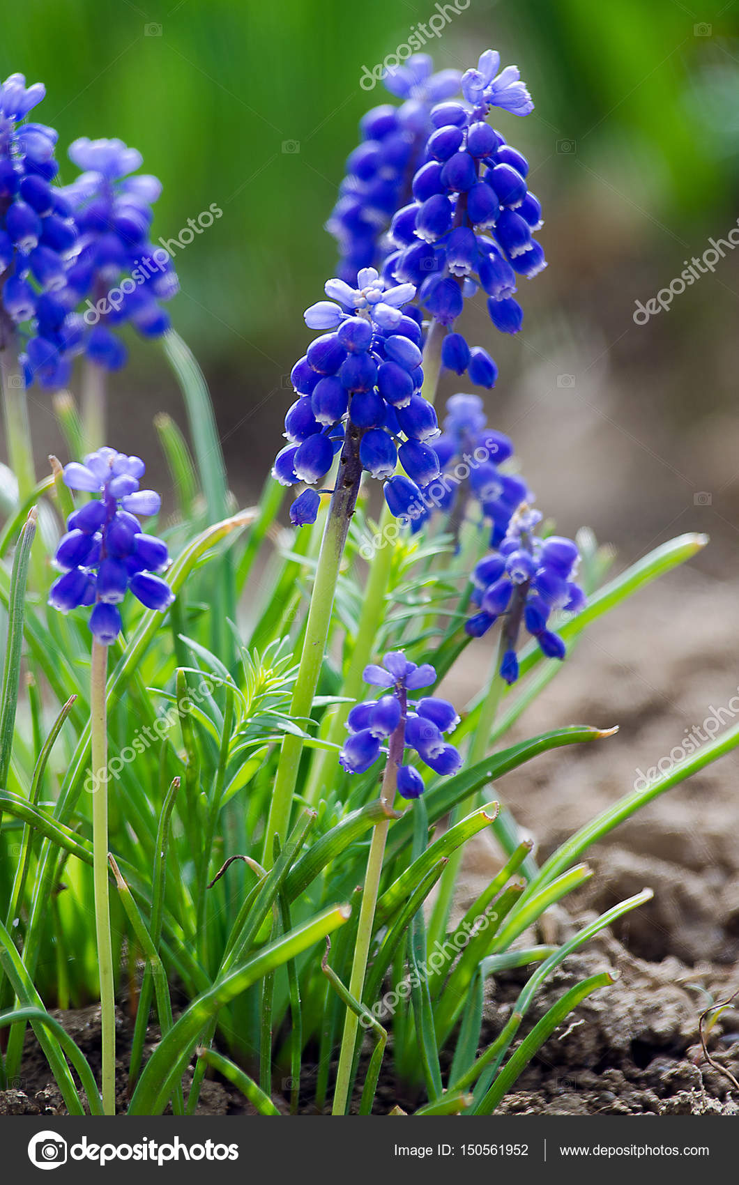 Small Blue Flowers Bloom In Spring Muskari Stock Photo