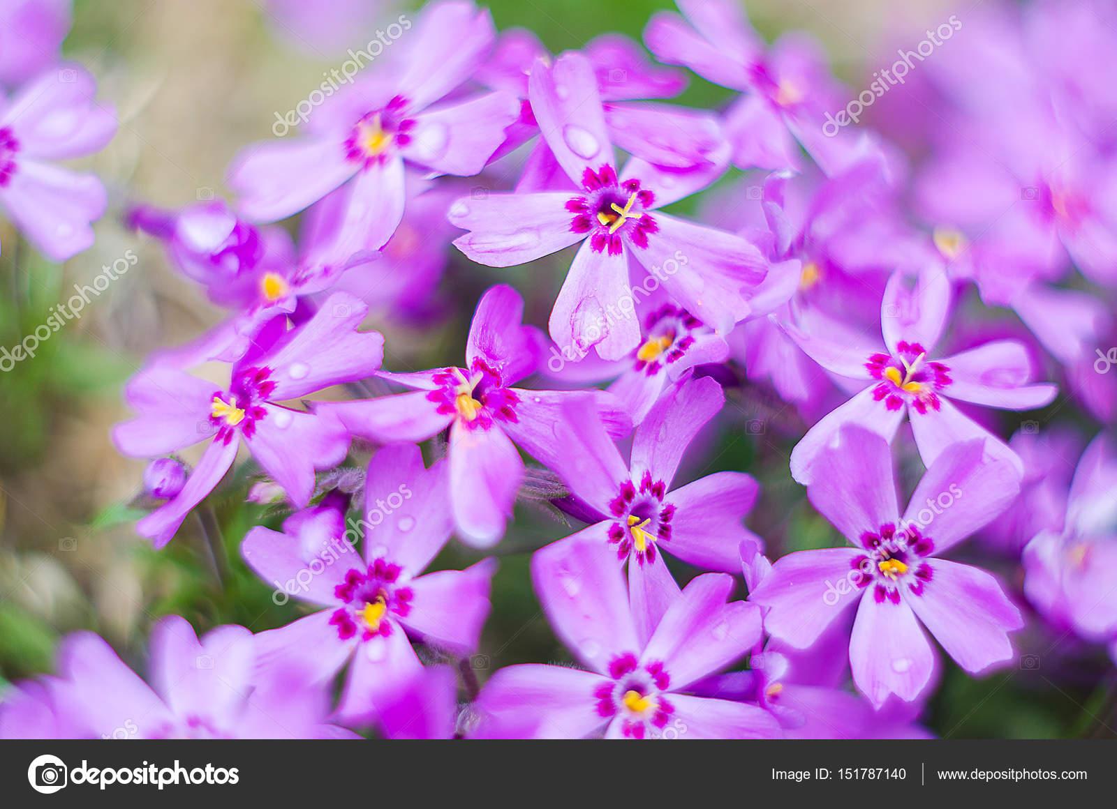 Как цветут цветы флоксы