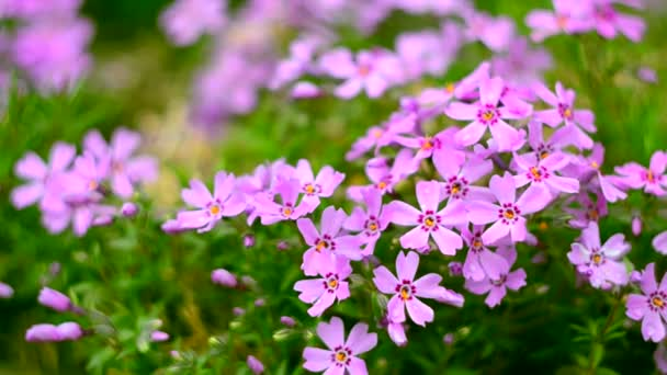 14b92e40a1 Λίγα λουλούδια ανθισμένα phlox ροζ με — Αρχείο Βίντεο © Galyna0404 ...