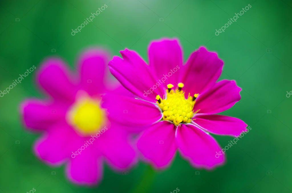 kosmeya pretty flower like