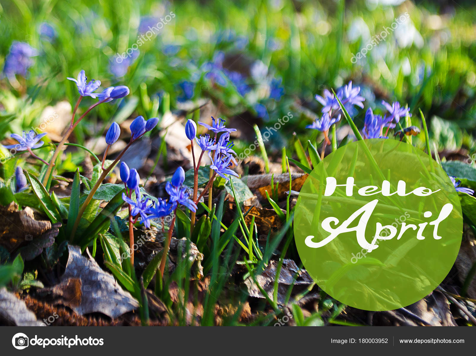Small Blue Flowers Bloom In Spring Muskari Stock Photo