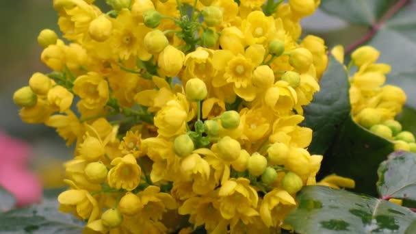 Detail žlutá kvetoucích keřů Mahónie - Mahonia aquifolium. Video květ zavřít do Conanova, zvětšování, jemný tok květenství