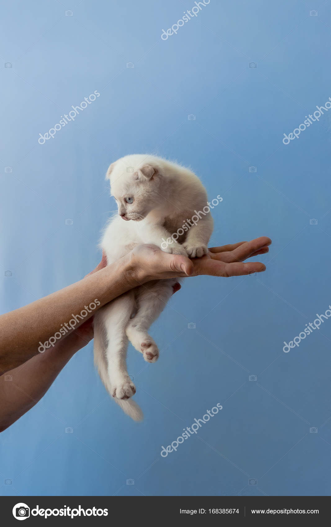 kitten of Scottish fold breed in womans hands — Stock Photo