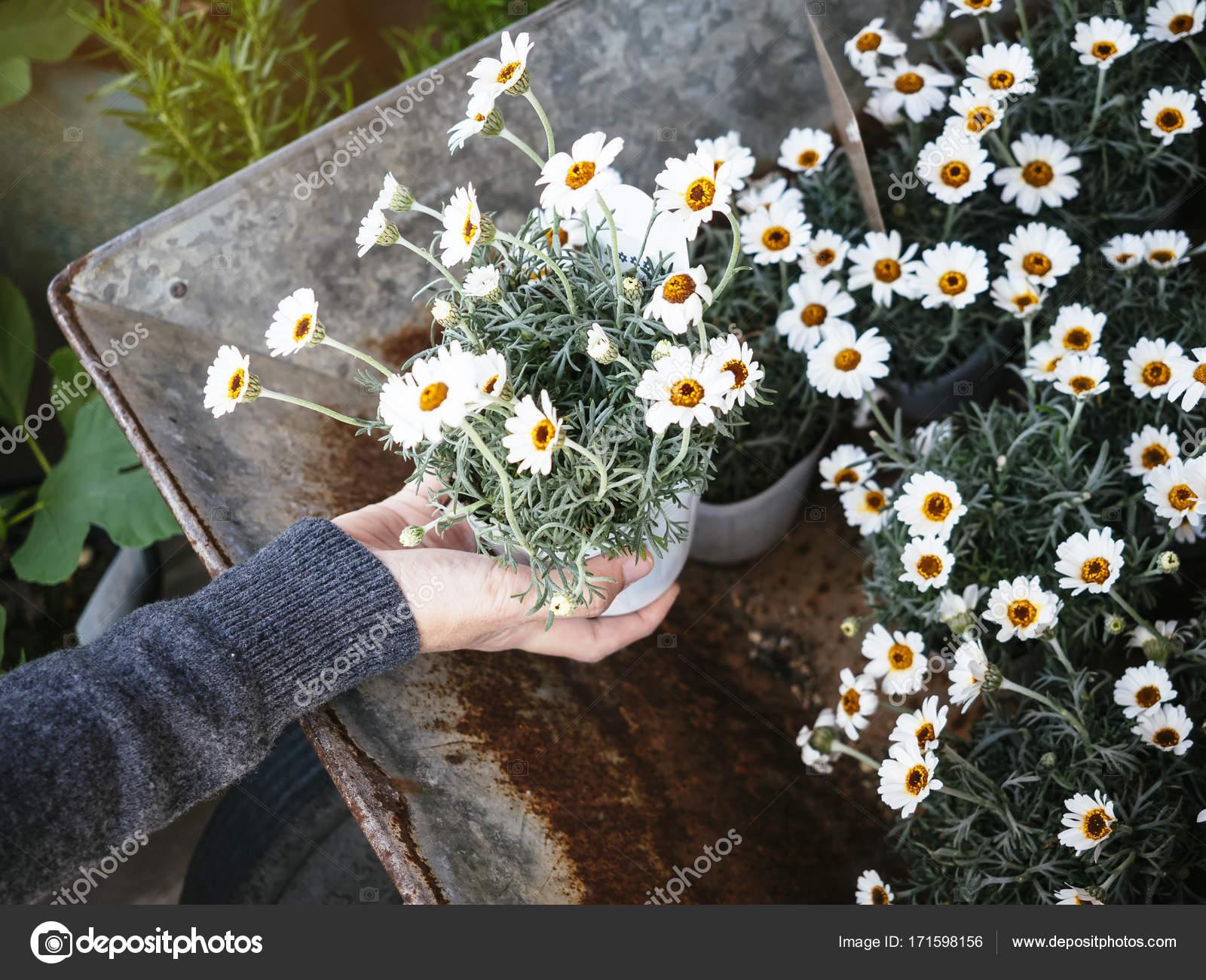 Weiße Kleine Blumen Topfpflanzen Mit Hand Haus Garten U2014 Stockfoto