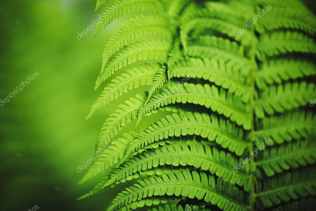 Beautiful fern leaves, macro