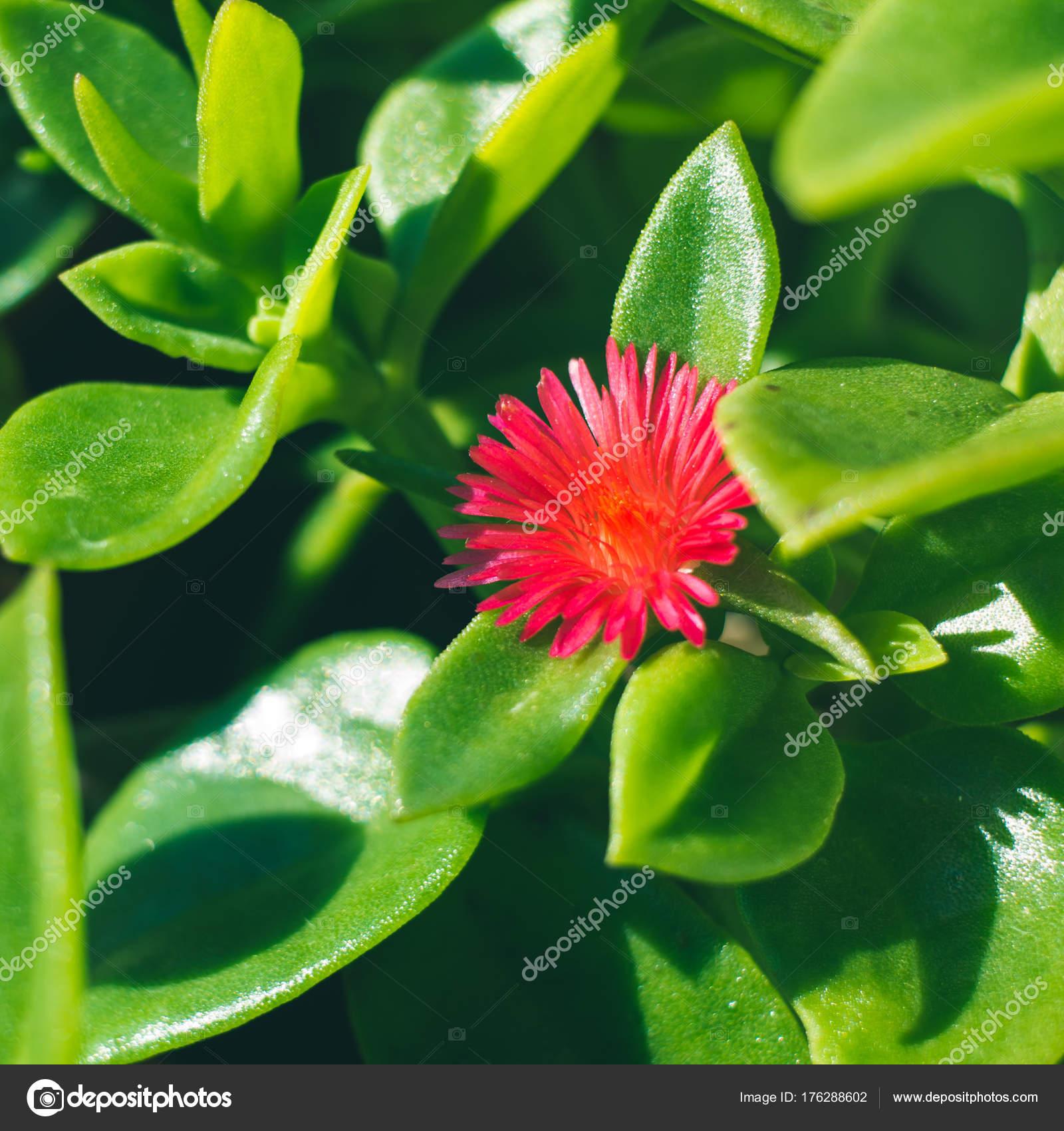 Succulent Plant Macro Shot Pink Flower Stock Photo Tenkende