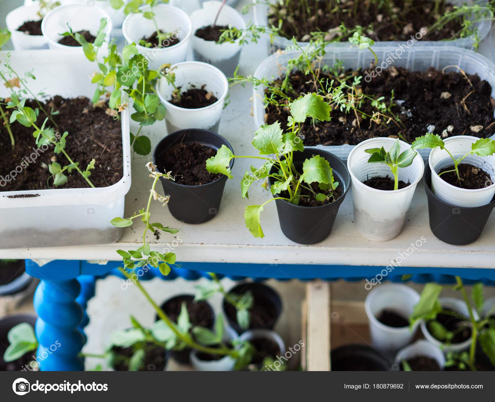 Piante da giardino casa in bicchieri di plastica foto for Contenitori in plastica da giardino