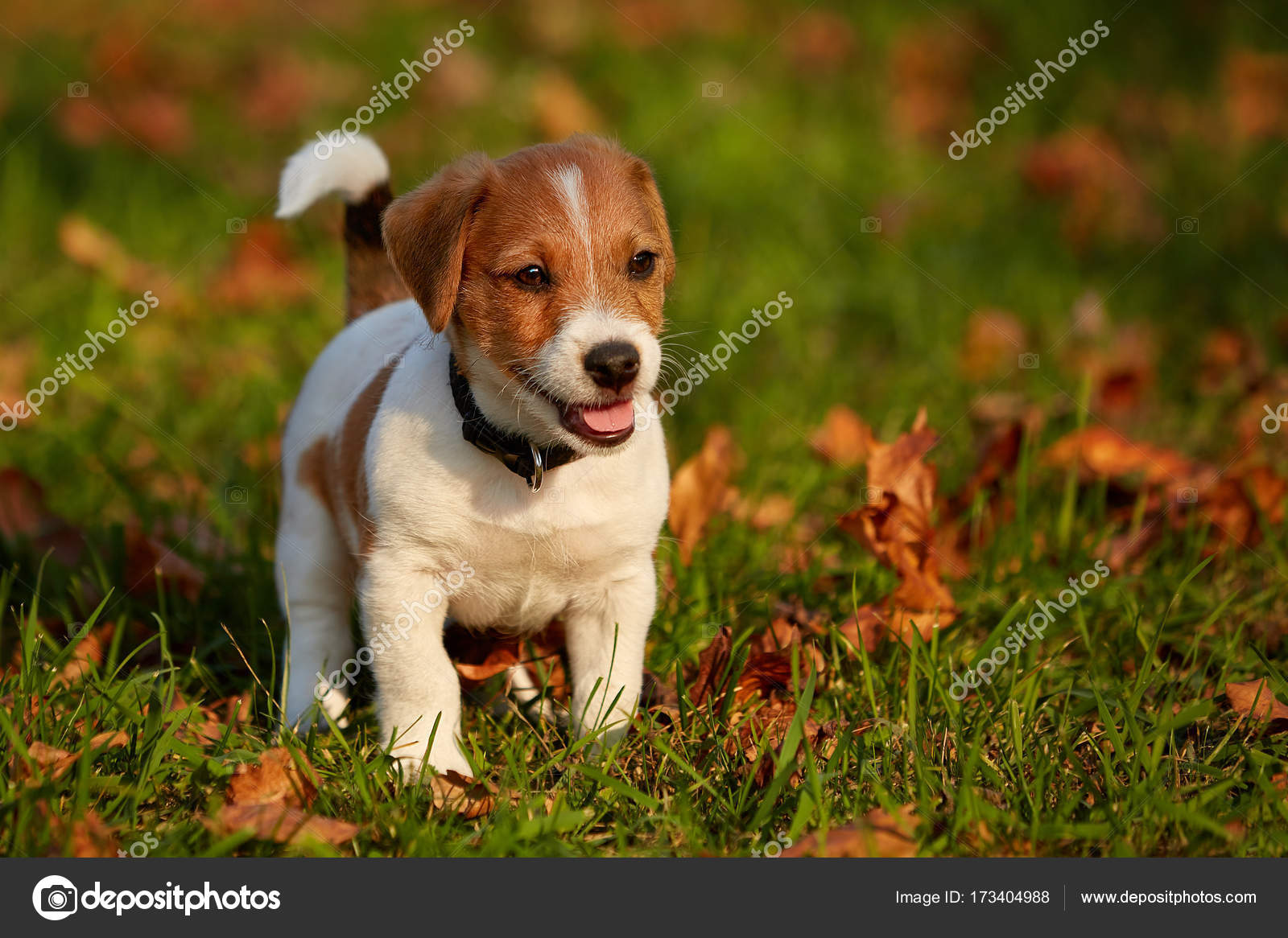 Hund Züchten Jack Russell Terrier Spielen Im Herbst Park Stockfoto