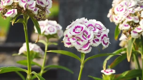 Color white and violet flower with the wind blows,