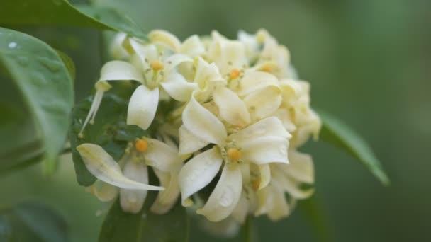Bouquet of orange jasmine flower