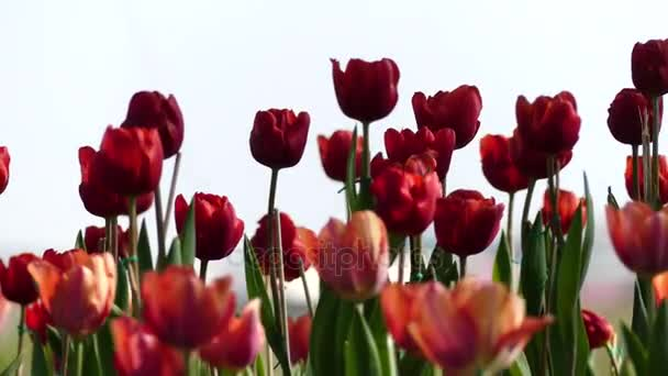 yellow and red tulips flowers bulbs, Closeup planting tulips flowers bulbs blossoming, Spring flowers sunlight garden background.