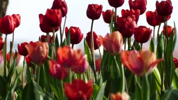 Zblízka žluté a červené tulipány květinových cibulí, detailní vysazovat cibulky tulipánů květiny kvetoucí,