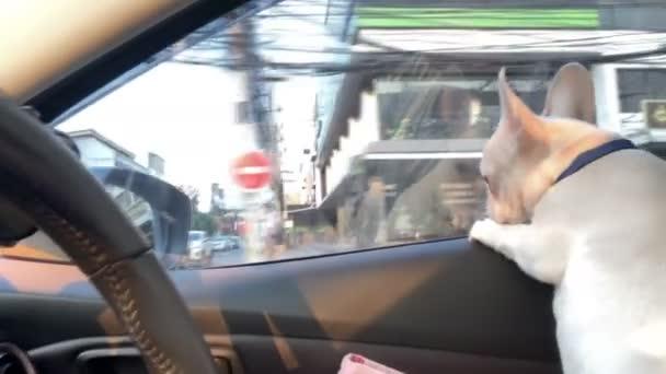 Kutya a kocsi első ülésén. Francia bulldog az autóban, és nézi a kilátás nyílik a városra, amikor az autó mozog.