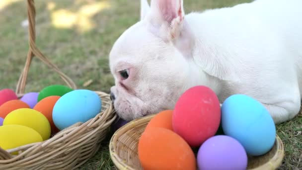 French bulldog puppy trying to eat easter egg from the basket in the park,