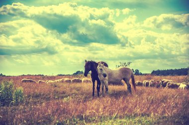 Two horses and sheep grazing on the meadow